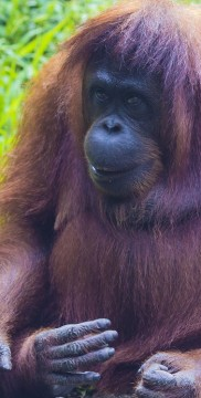 Orangutan w Indonezji